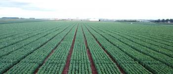 Fundação Chapadão confirma em Chapadão do Sul – MS o primeiro foco de ferrugem em soja comercial na safra 2019/2020.
