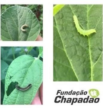 Fundação Chapadão reforça o cuidado com o monitoramento de lagartas que atacam vagens