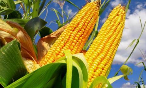 Com aumento da safrinha, preço do milho pode cair