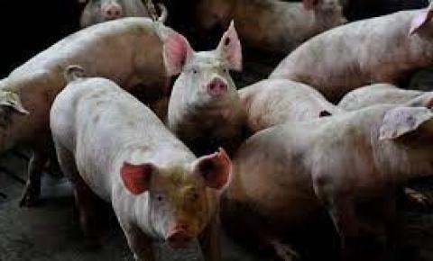 Alerta sobre Peste Suína Africana no Brasil